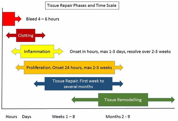 Tissue repair phases